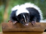 Skunk Removal Photo Gallery