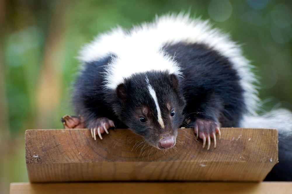 Skunk on Deck