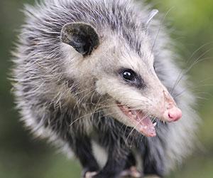 Opossum hissing