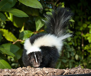 Skunk in bushes