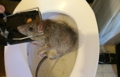 Rat in Toilet | Animal Control Services, Inc.