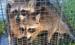 raccoon-family-from-sterling