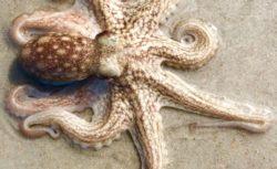 dbs-octopus