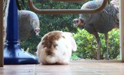 bunny-turkey