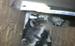 baby-raccoon-in-wall-ob