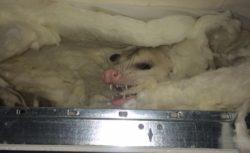 opossun drop ceiling dab